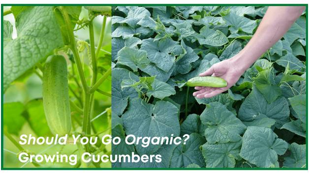 Cucumbers natural health benefits - Should you go organic?